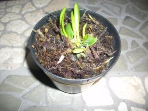Bulpophillum Macranthum