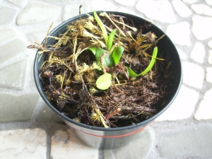 Bubophyllum Macranthum