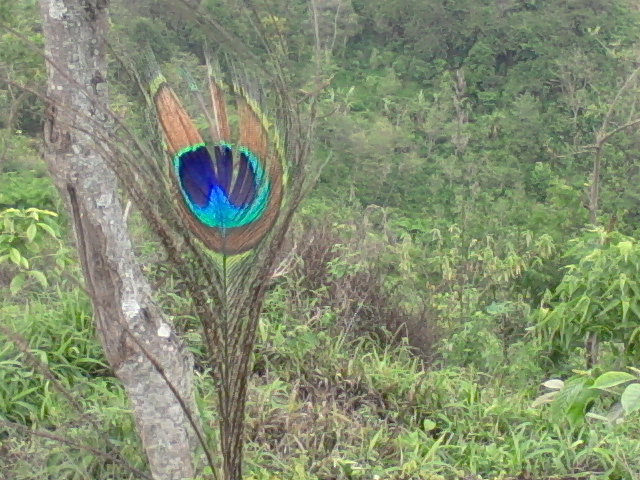 Bulu Merak hijau