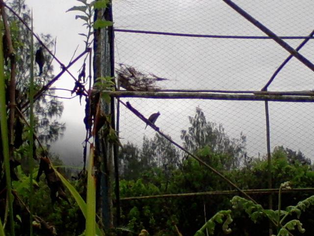 Silvia si Elang jawa di kandang habituasi.Lokasi : Hutan Cagar Alam Gunung Ijen.